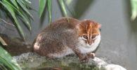 Gato-de-cabeza-plana