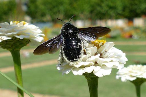 abejorro-negro