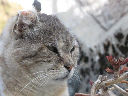 acaros-en-orejas-de-gatos