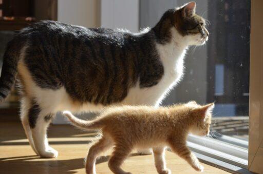 adoptar-gato-bebe-o-adulto