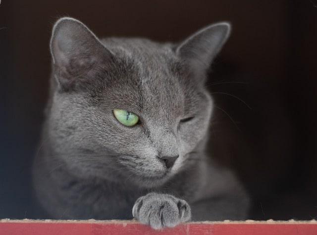 alergia-gato-azul-ruso