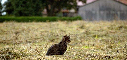 american-wirehair-cat