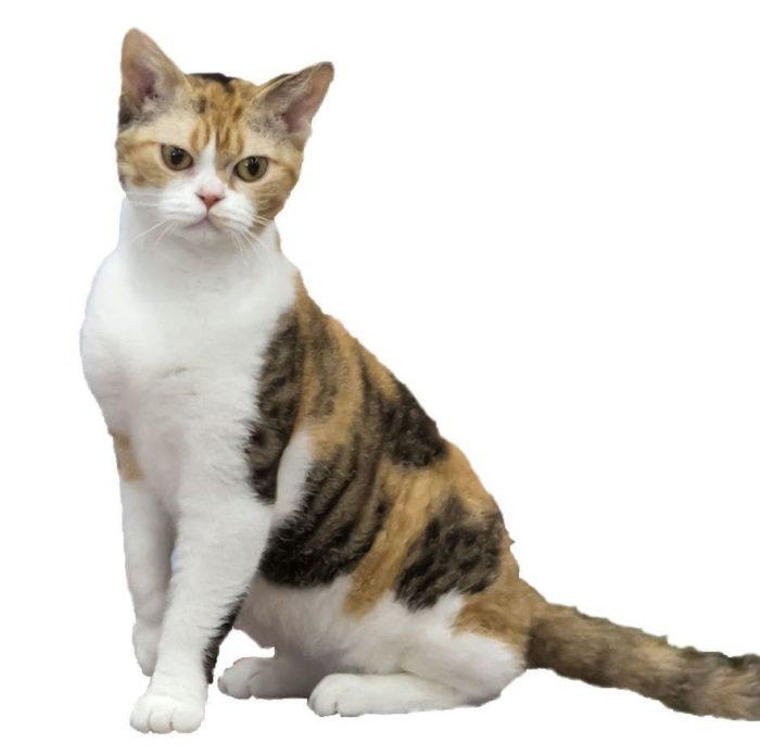 american-wirehair-gato