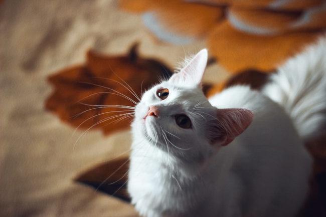 angora-turco-gato