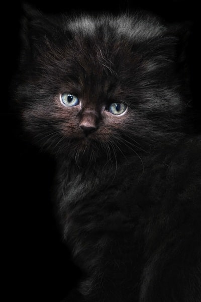 angora-turco-negro-bebe