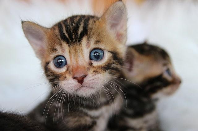 baby-bengal-cat