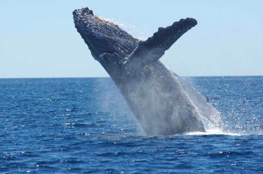 ballena-jororbada
