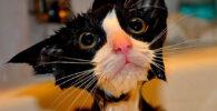 bañar-a-un-gato