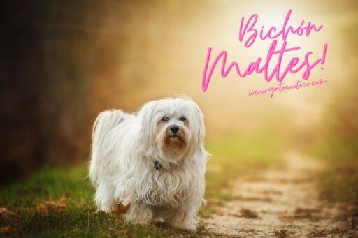 bichon-maltes-perro