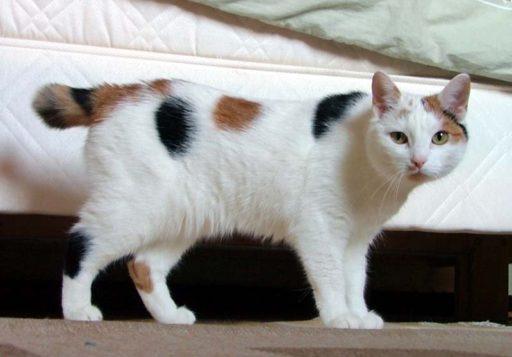 bobtail-japones-gato