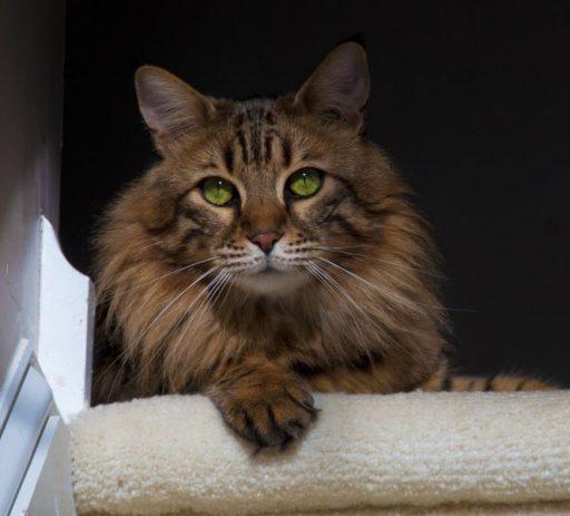 bosque-de-noruega-gato-precio