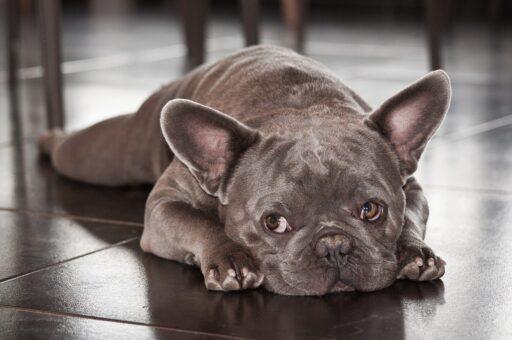 bulldog-frances-blue