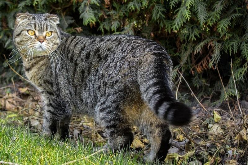 cat-scotish-fold