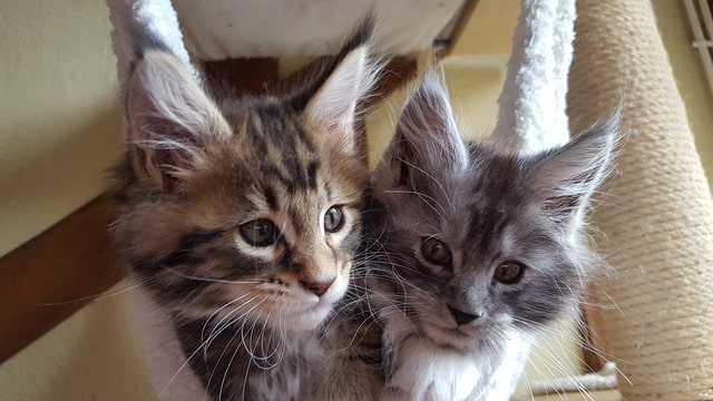 cats-maine-coon