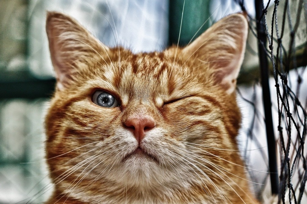 comprar-gatos-de-raza-pura