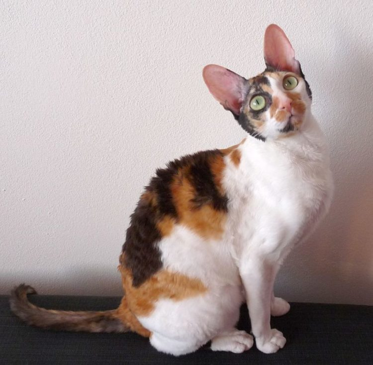 cornish-rex-comprar
