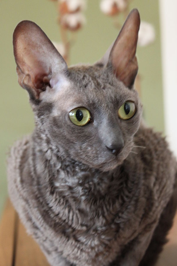cornish-rex-raza