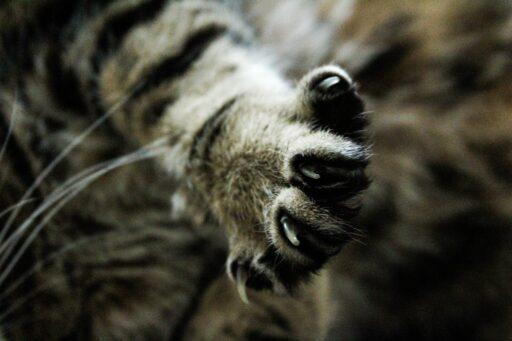 cortar-uñas-gatos