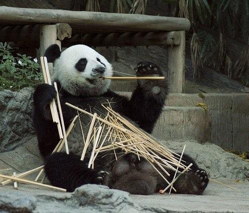cuanto-vive-el-oso-panda
