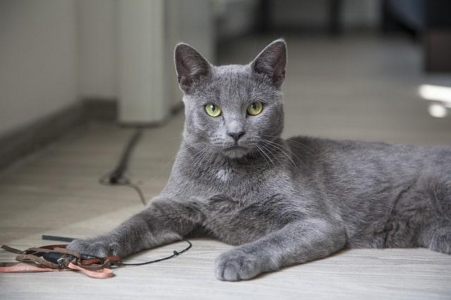 cuanto-vive-un-gato-azul-ruso