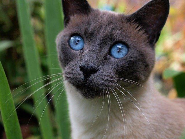 cuanto-vive-un-gato-siames