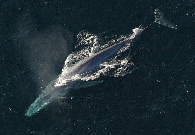 cuantos-años-vive-la-ballena-azul