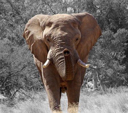 cuantos-años-vive-un-elefante