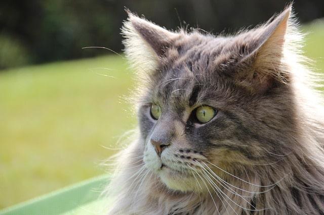 cuantos-años-vive-un-gato-maine-coon