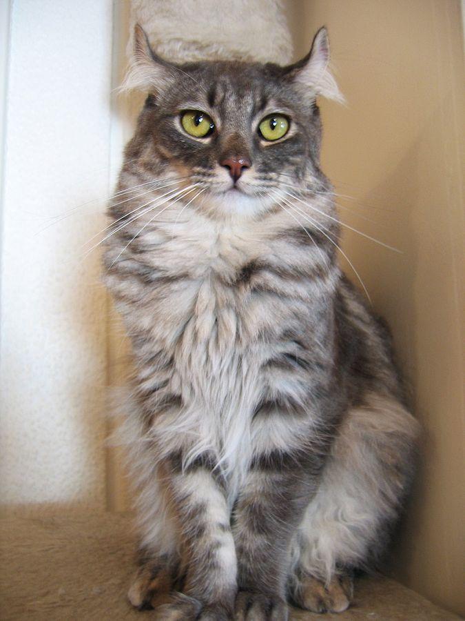 curl-americano-gato