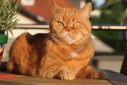 exotic-shorthair-cat-orange