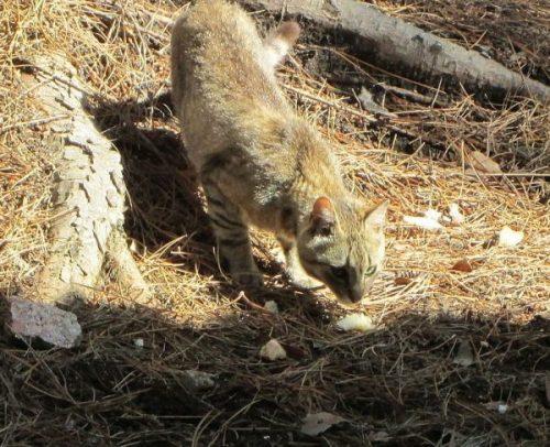 felis-silvestris-lybica