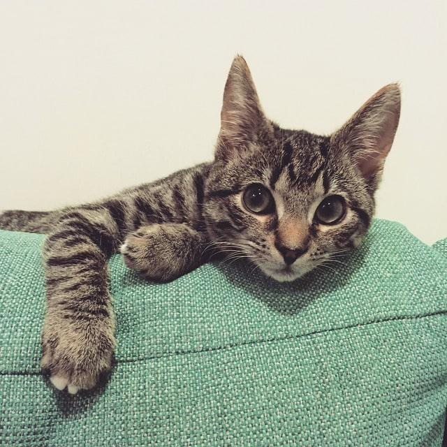 gatito-atigrado-gris-negro