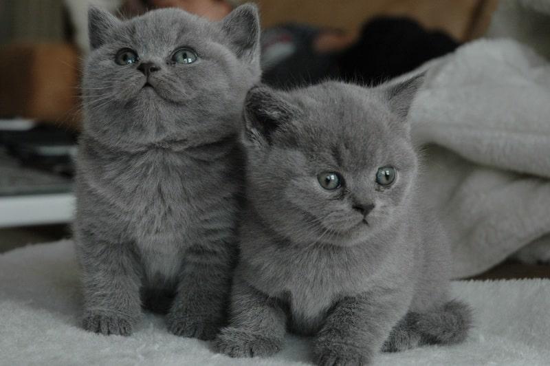 gatito-azul-ruso