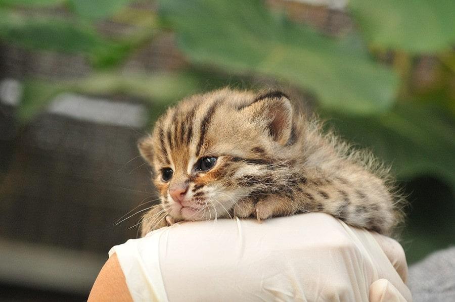 gatito-bebe-leopardo