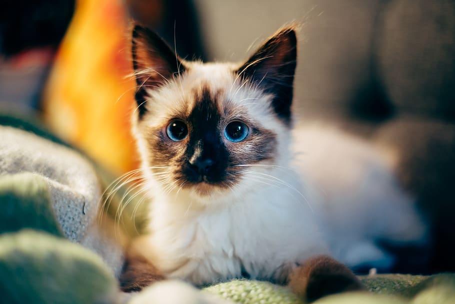 gatito-bebe-raza-siamesa