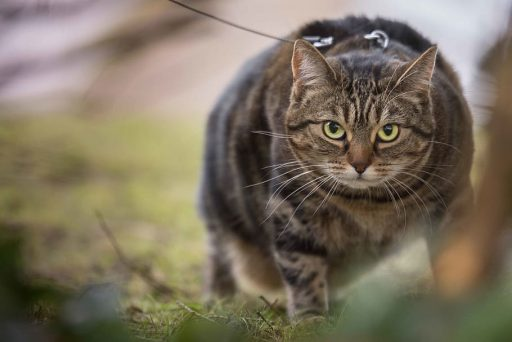 gatito-gordo