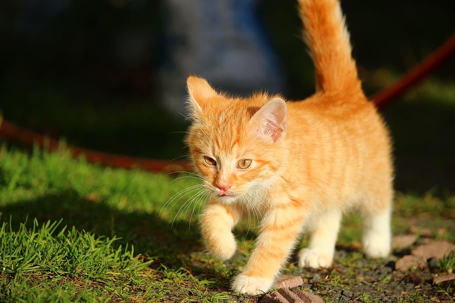 Gato Naranja Descubre Las Razas De Gatitos Naranjas Más Famosas