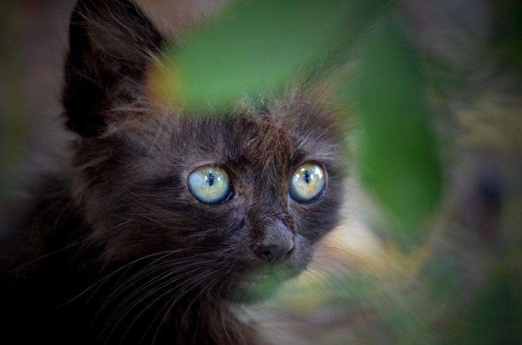 gatito-negro-adopcion