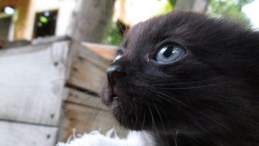 gatito-negro-con-ojos-azules