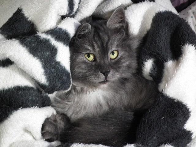 gatito-negro-pelo-largo