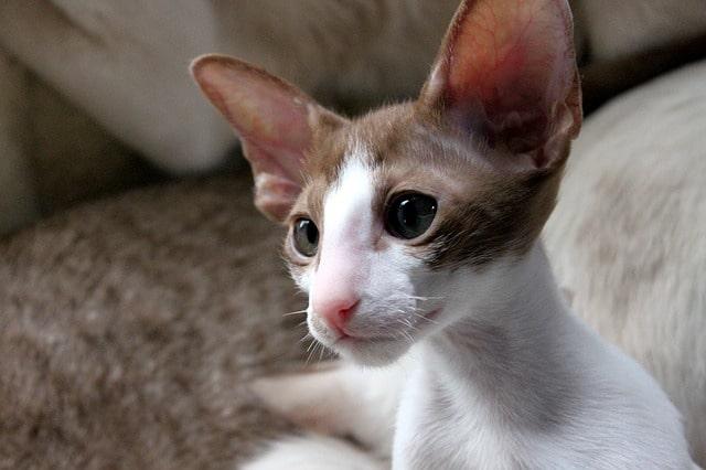 gatito-oriental