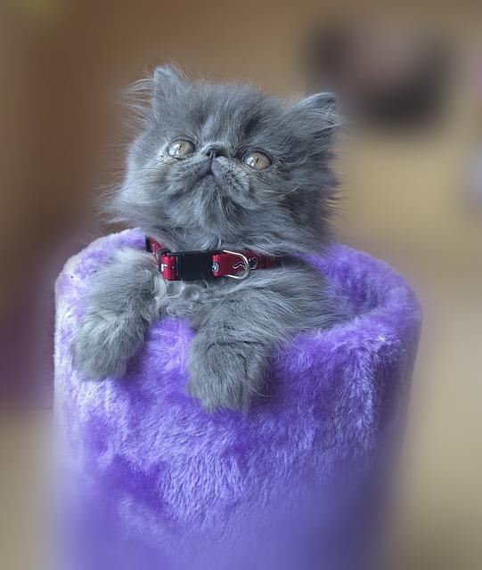 gatito-persa-bebe-gris