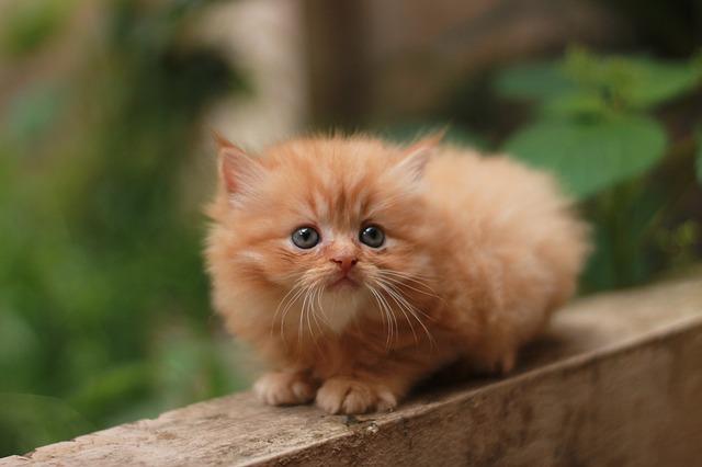 gatito-persa-bebe-naranja