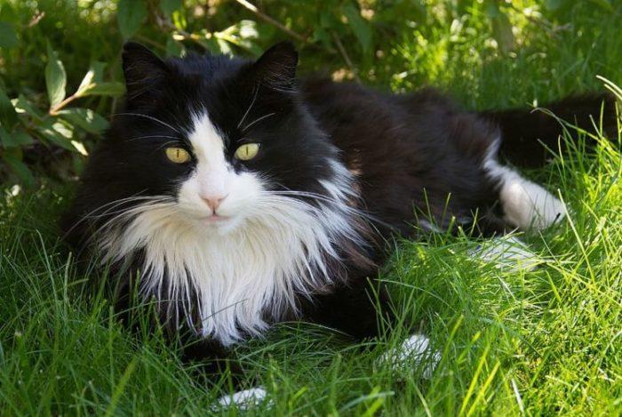 gatito-ragamuffin