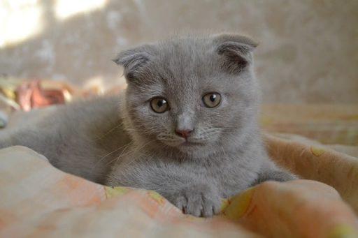 gatito-scottish-fold
