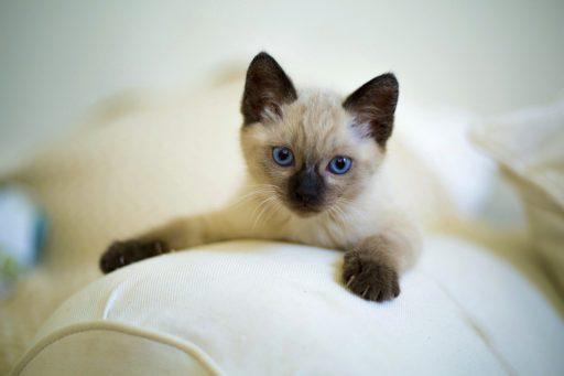 gatito-siames