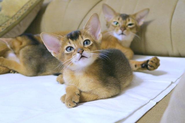 gato-abisinio-cachorro