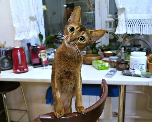 gato-abisinio-caracter