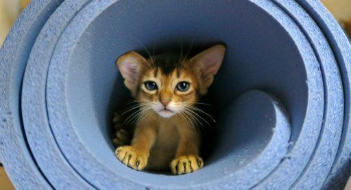 gato-abisinio-precio