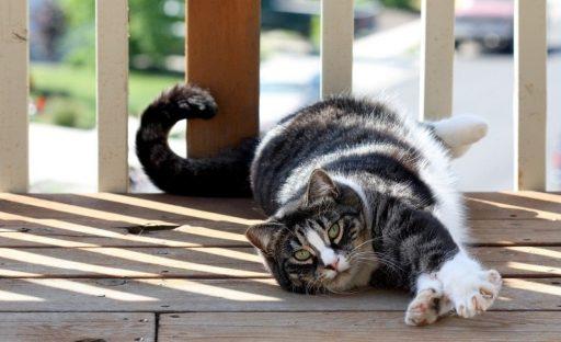 gato-americano-pelo-corto
